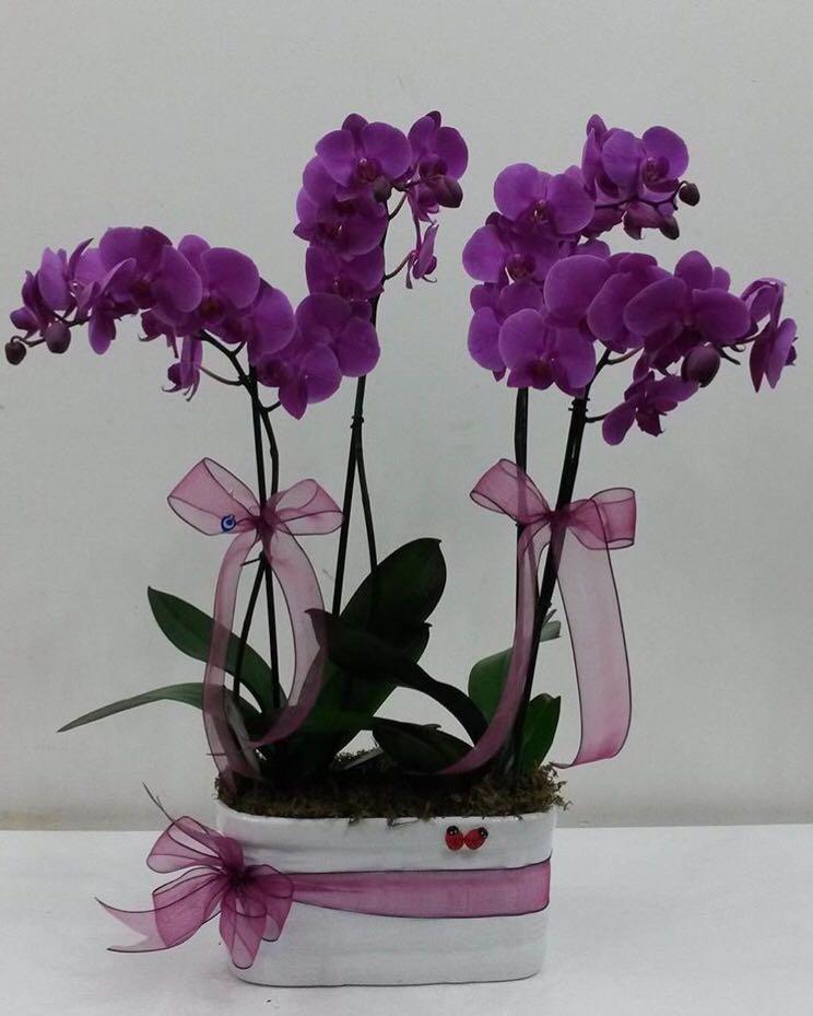 4 Köklü Mor Orkide